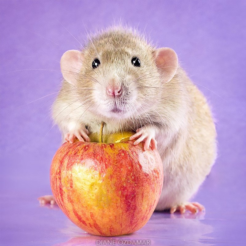 Rat posing with an red apple