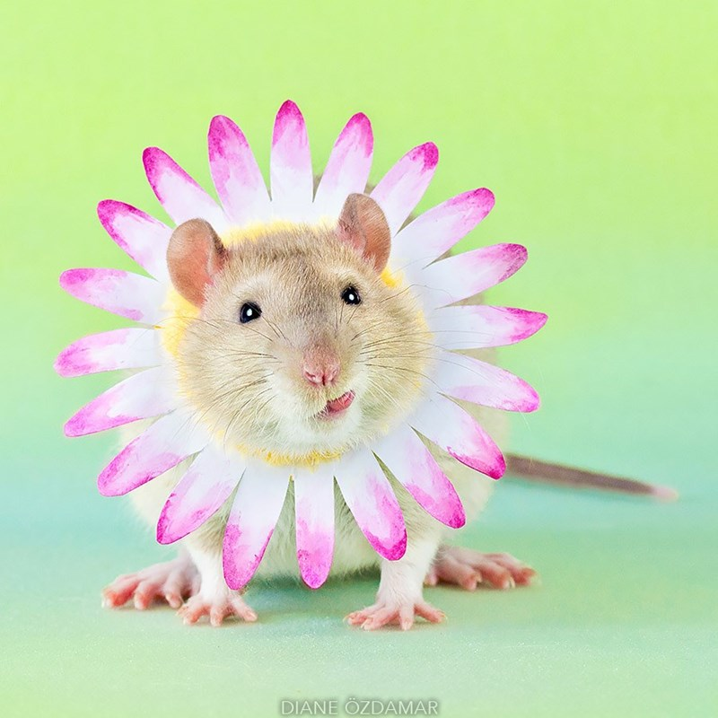 Diane Ozdamar cute rat wearing a flower around his neck.