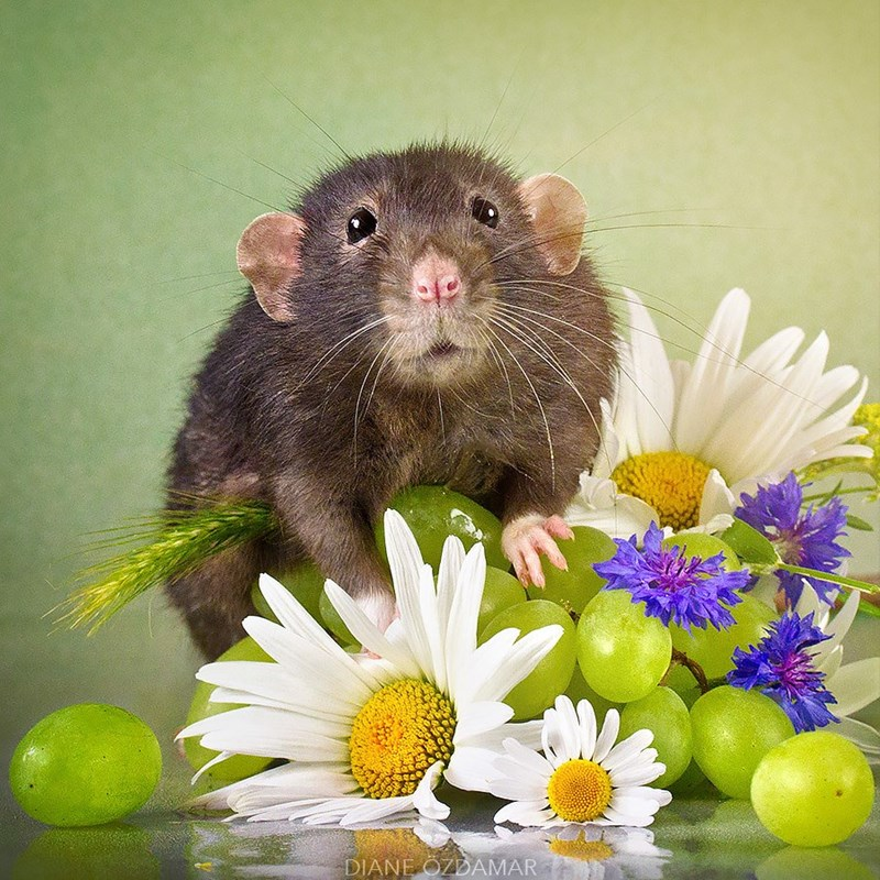Rat playing with grapes and flowers in photo by Diane Ozdamar