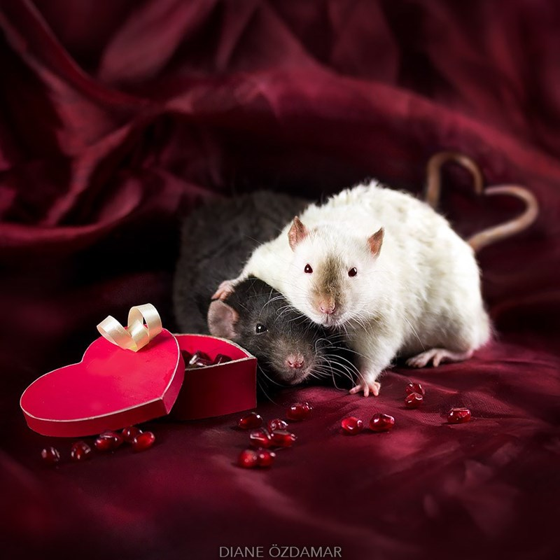 Rats playing with valentines chocolates