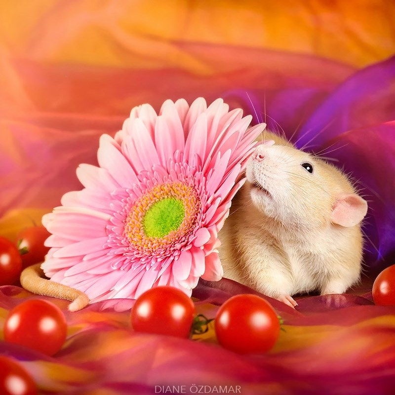 Rat smelling a flower