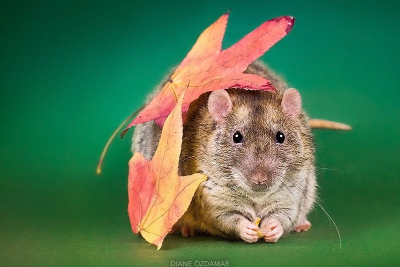 Rat with leaves on him.