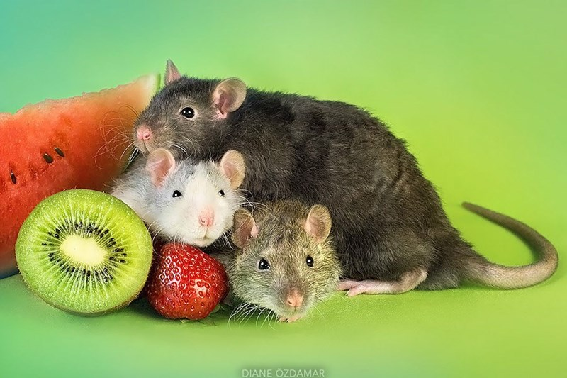 Rat posing with watermelon, kiwi and strawberry fruits.