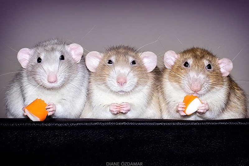 Rats eating cheddar cheese