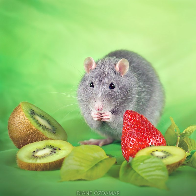 Rat eating some kiwi next to a strawberry