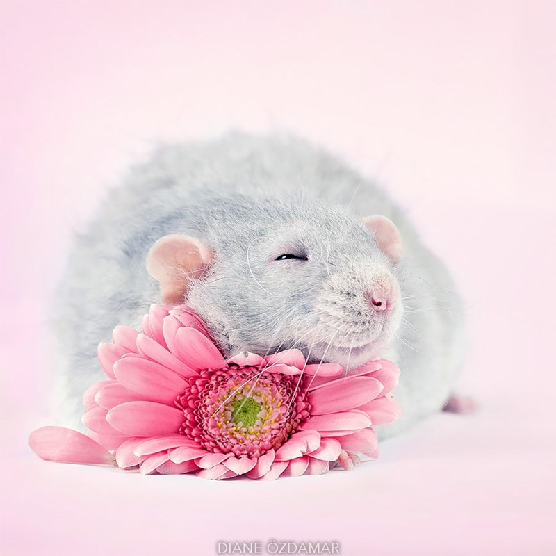 sleeping rat on a flower