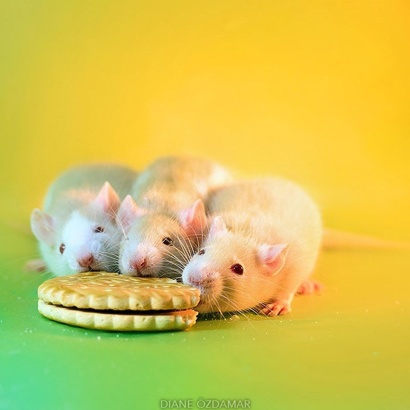 rats eating a cookie