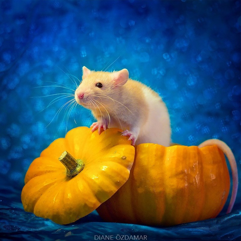 Rat popping out of a pumpkin