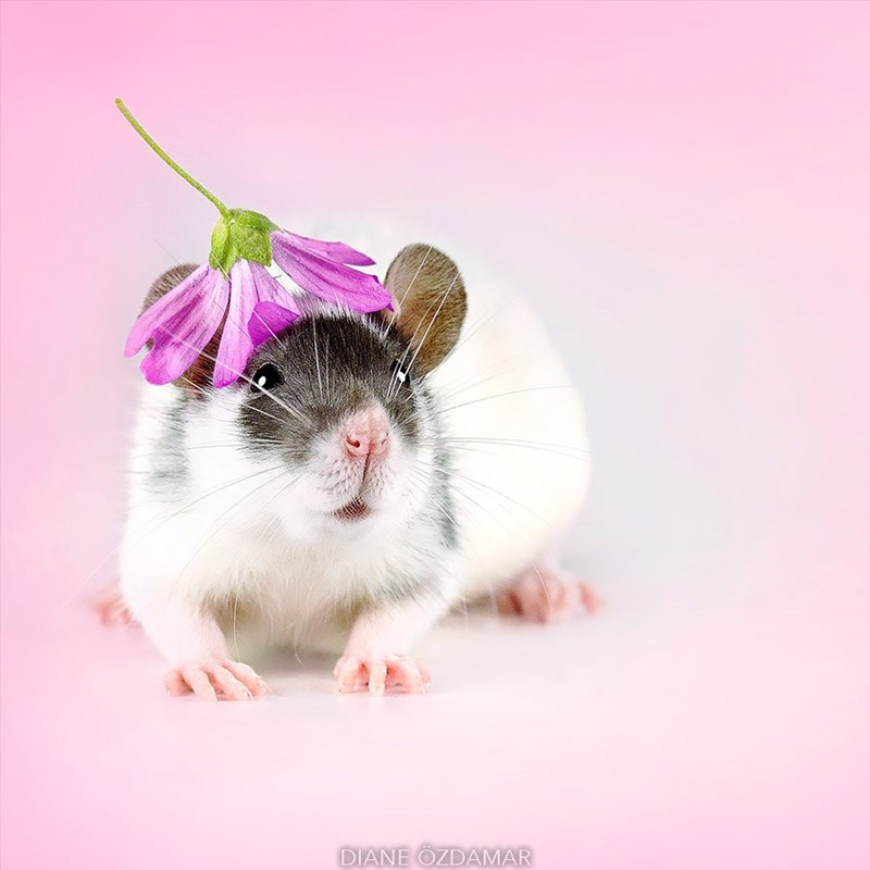 Rat wearing flower as a hat.