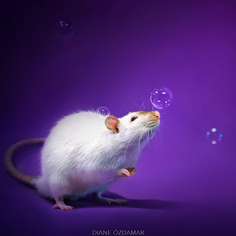Rat playing with bubbles