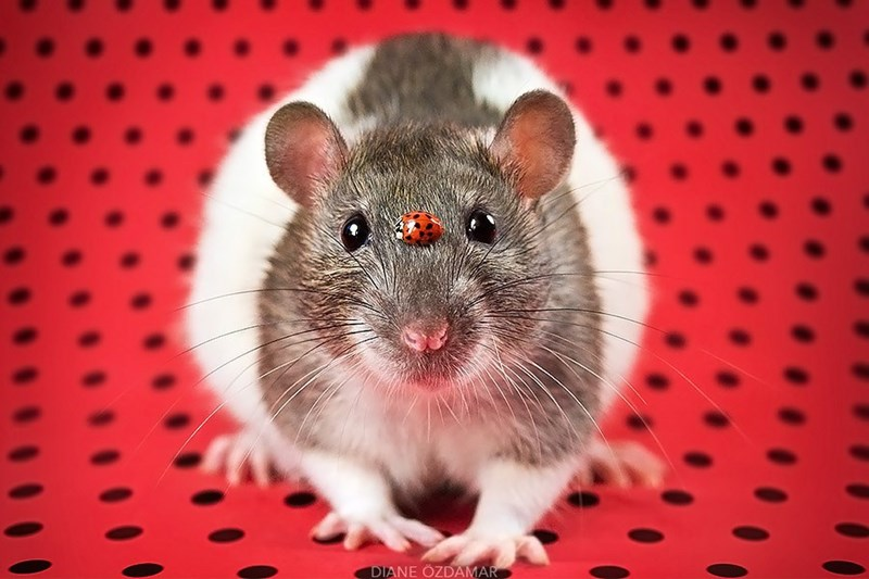 Diane Ozdamar photo of a rat with a little lady bug on his nose, on a lady bug pattern background.
