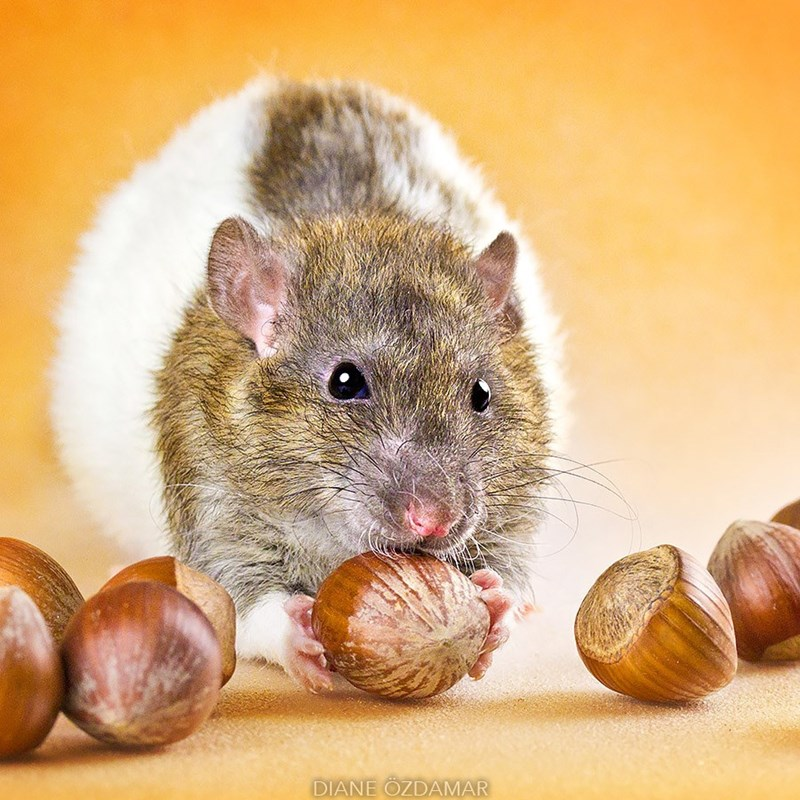Rat feasting on chestnuts