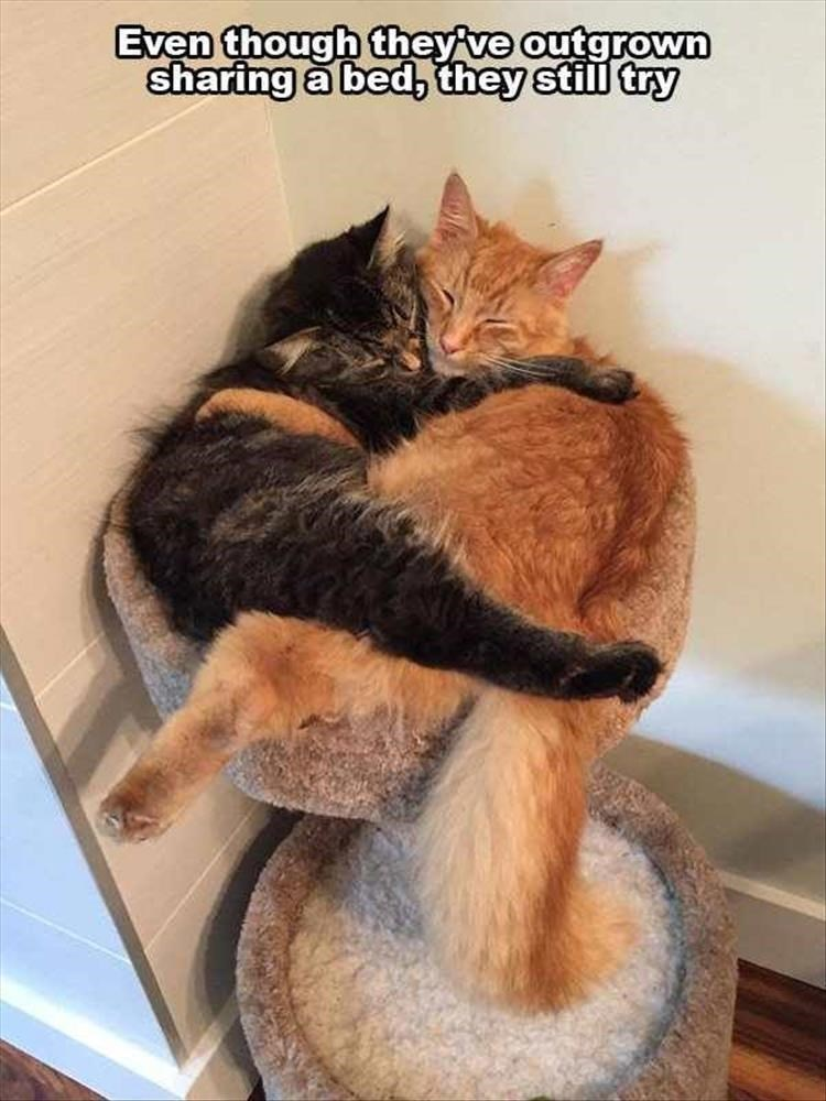cat meme - Cat - Even though they ve outgrown sharing a bed, they still try