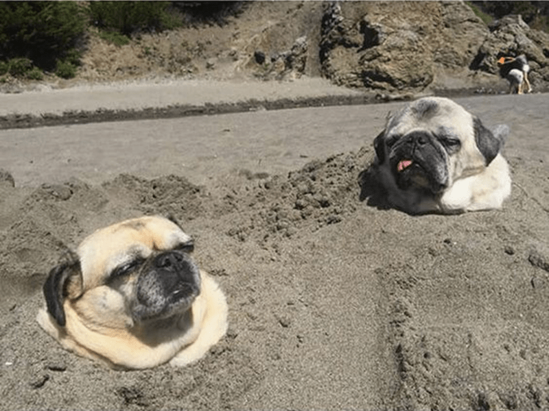 Pugs in the sand