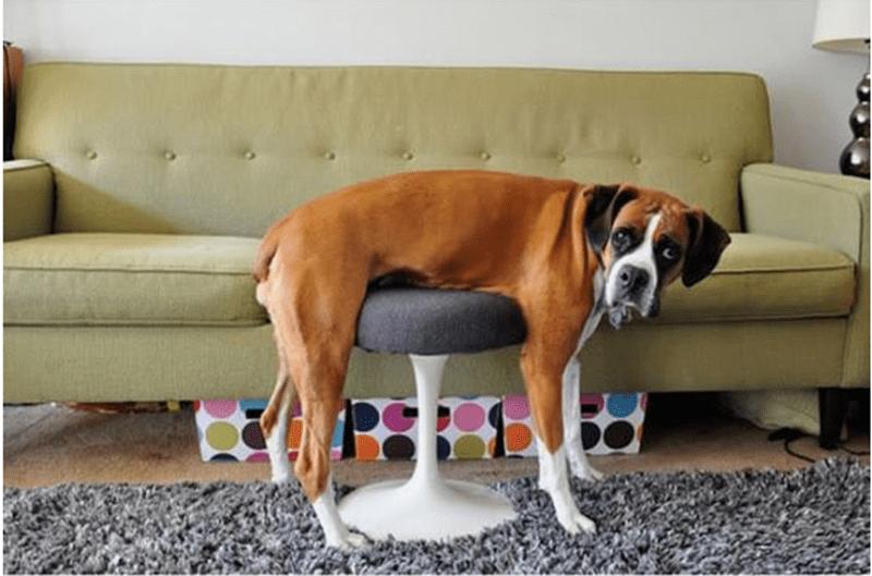 Dog stuck on the ottoman