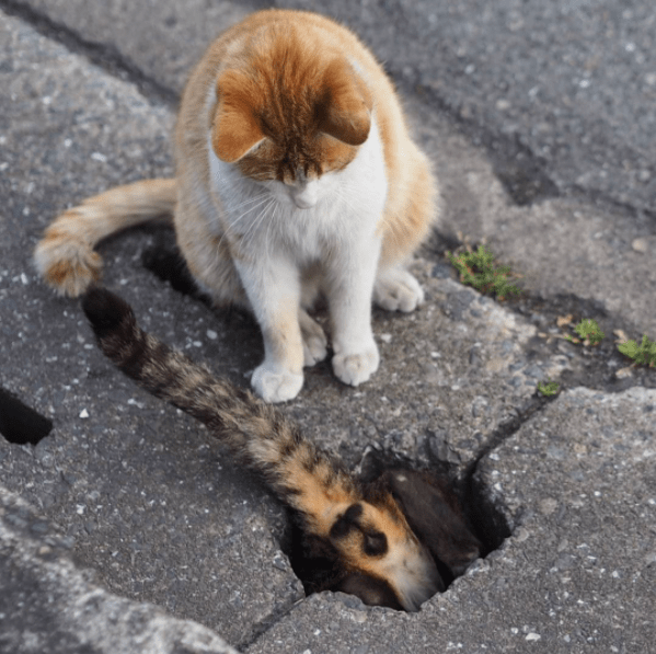 Street cat inspecting a cat hole in the road.