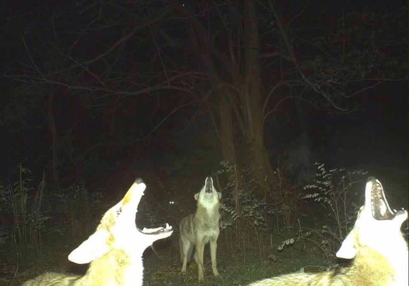 cursed image-three wolves howling together during the night