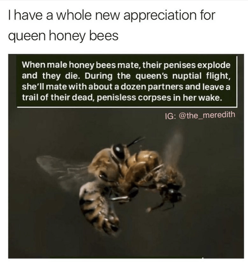 Honeybee - Ihave a whole new appreciation for queen honey bees When male honey bees mate, their penises explode and they die. During the queen's nuptial flight, she'll mate with about a dozen partners and leave a trail of their dead, penisless corpses in her wake. IG: @the_mered ith