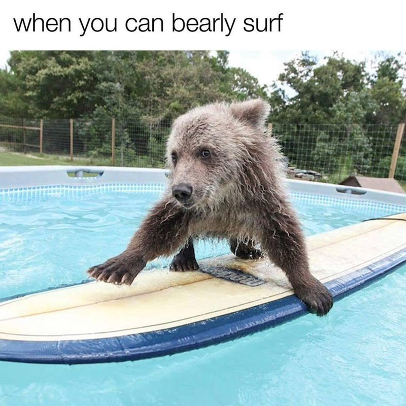 Funny meme and pun about bears surfing.