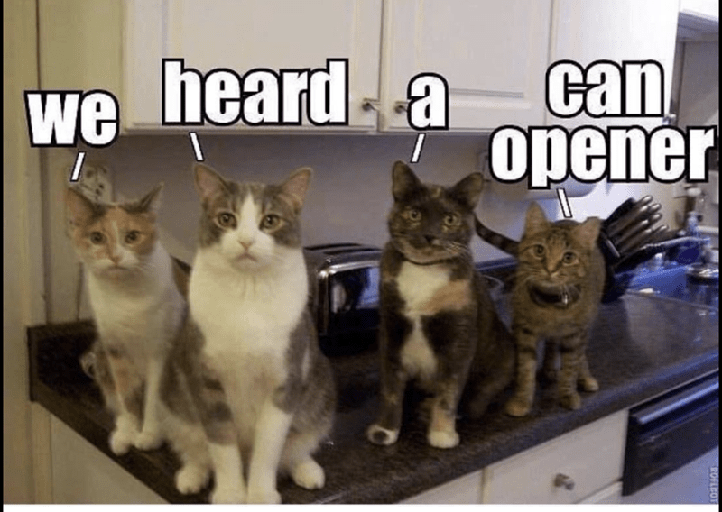 cats waiting for can opener