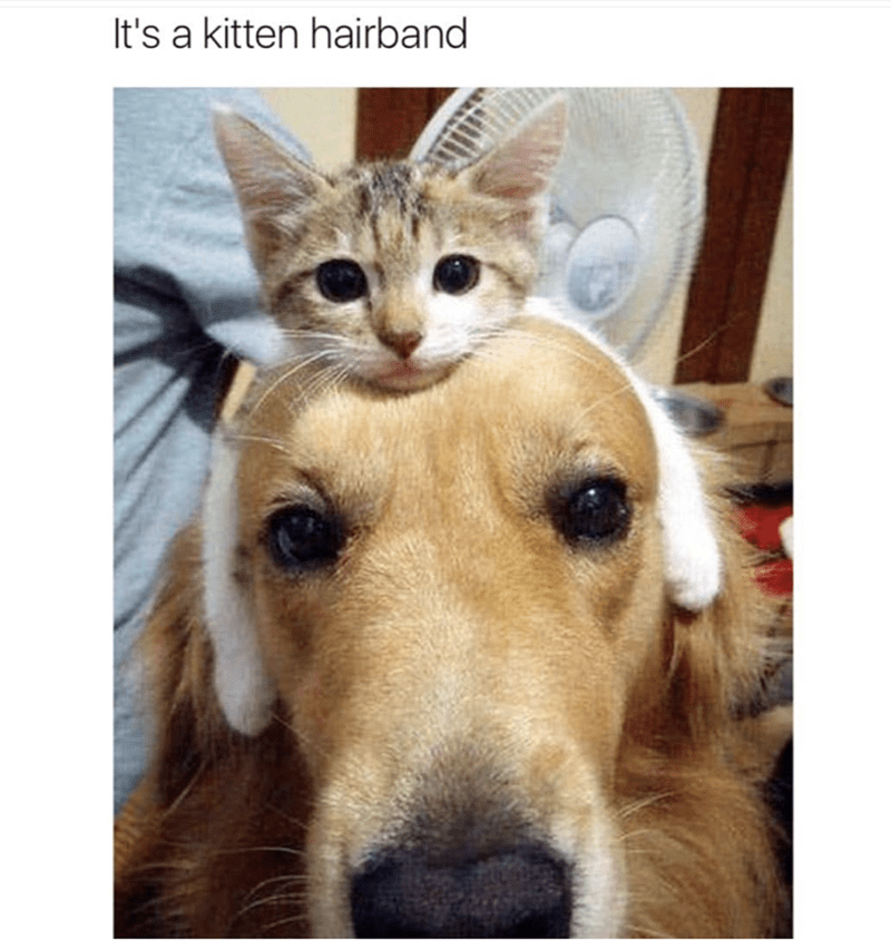 dog wearing a kitten as a head band in a funny meme.
