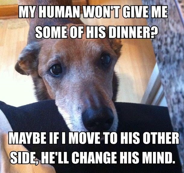 meme - Dog breed - MY HUMAN WONT GIVE ME SOME OF HIS DINNER? MAYBE IF I MOVE TO HIS OTHER SIDE HELL CHANGE HIS MIND.