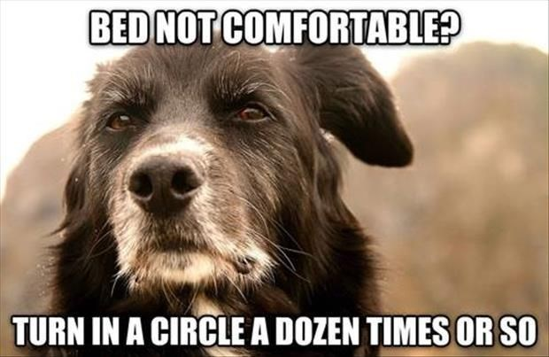 meme - Dog breed - BED NOT COMFORTABLE? TURN IN A CIRCLEA DOZEN TIMES OR SO