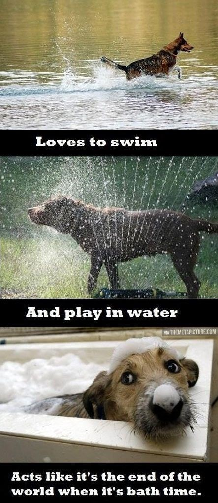 meme - Canidae - Loves to swim And play in water VIA THEMETAPICTURE.COM Acts like it's the end of the world when it's bath time.