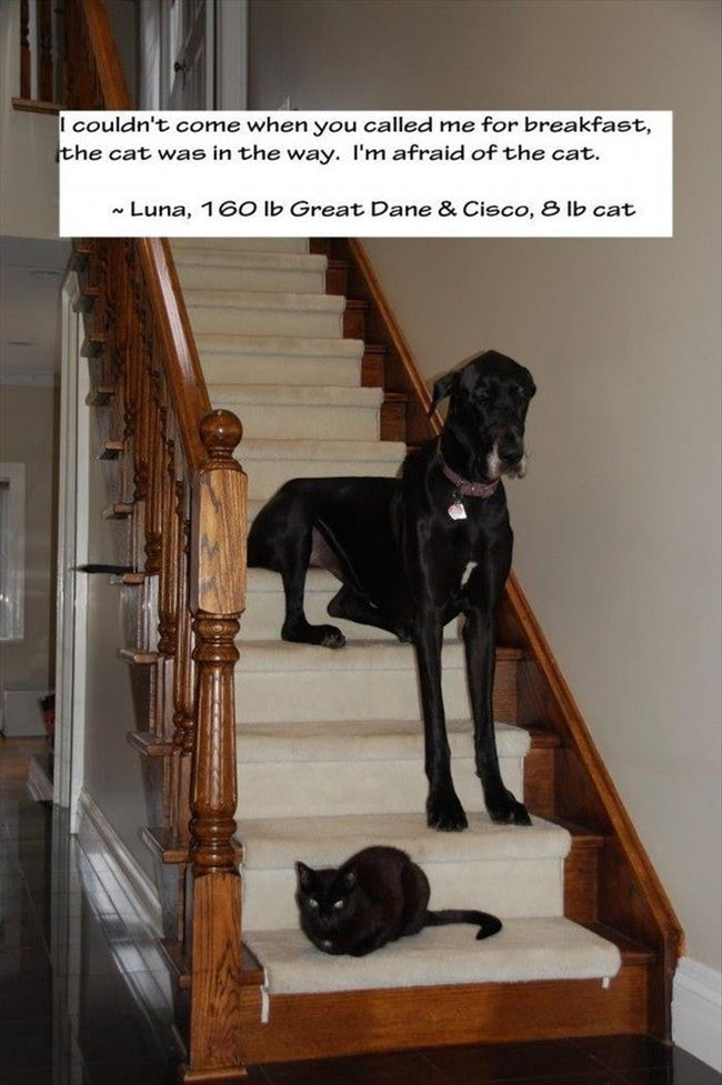 Dog - I couldn't come when you called me for breakfast, the cat was in the way. I'm afraid of the cat. Luna, 16O lb Great Dane & Cisco, 8 lb cat