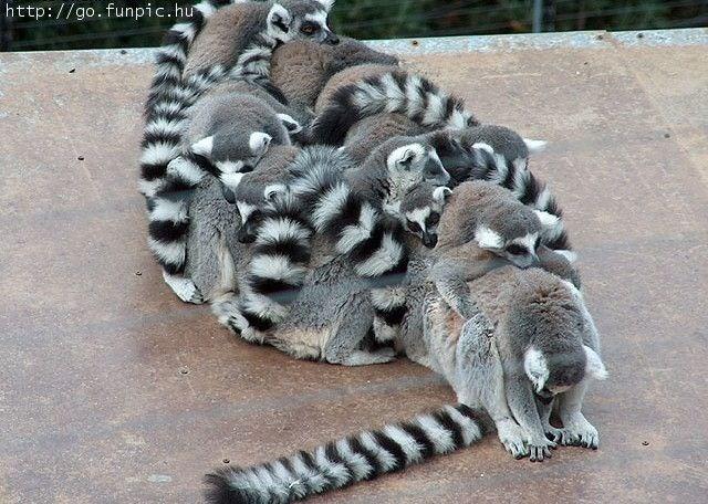 Lemur - http://go.funpic.hu