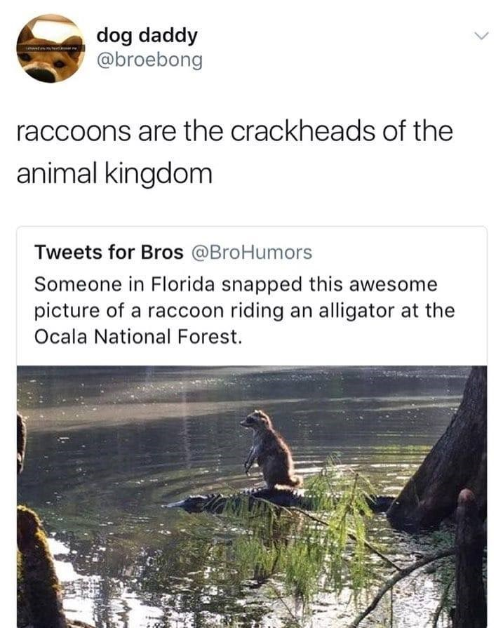 Text - dog daddy @broebong raccoons are the crackheads of the animal kingdom Tweets for Bros @BroHumors Someone in Florida snapped this awesome picture of a raccoon riding an alligator at the Ocala National Forest.