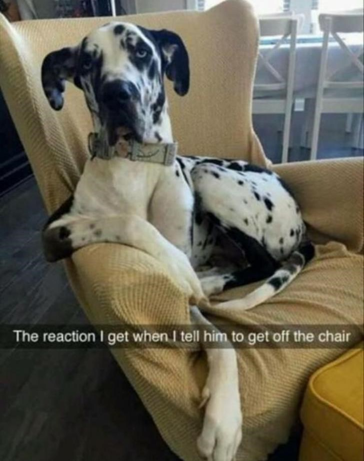 Dog - The reaction I get when I tell him to get off the chair