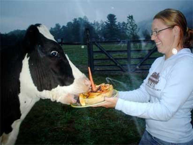 happy birthday - Dairy cow