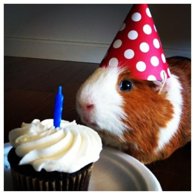 happy birthday - Guinea pig