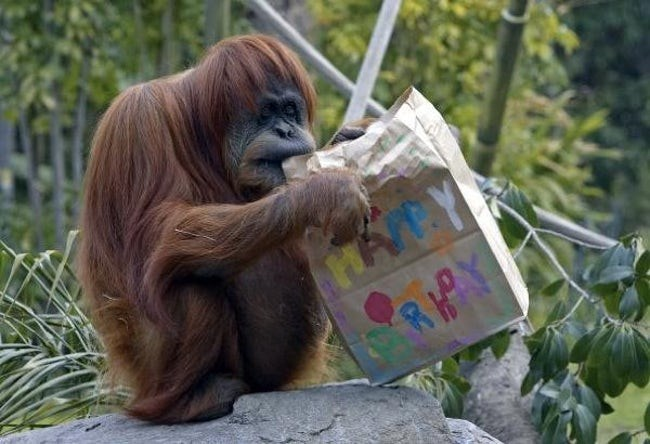 happy birthday - Orangutan - HAY