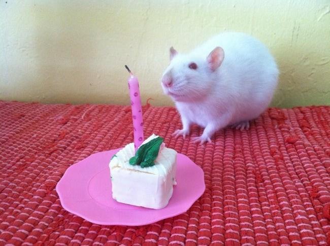 happy birthday - Rat