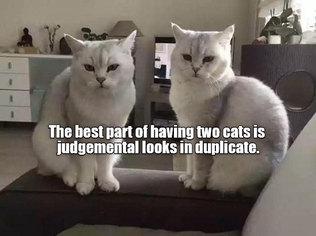 Duplicate cat looks as perk of having cats