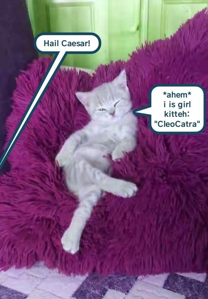 """Cat - Hail Caesar! *ahem* i is girl kitteh: """"CleoCatra"""""""