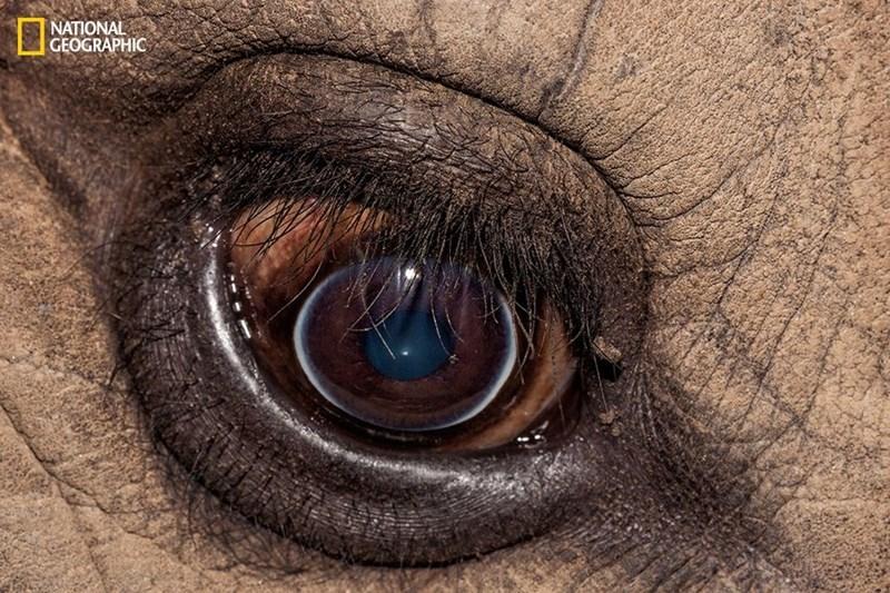 Eyes of a white rhino