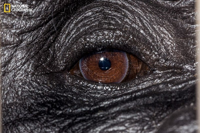 Eyes of the Western Lowland Gorilla