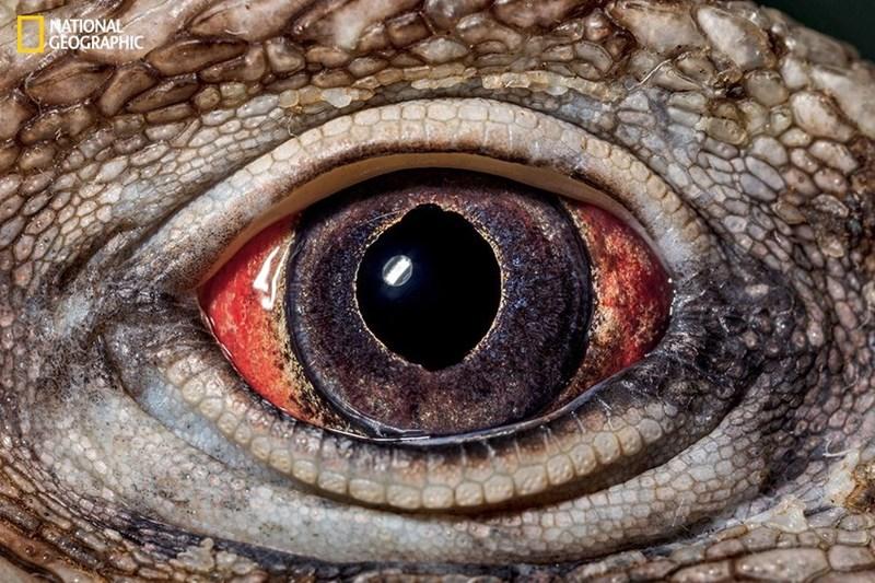 The eye of a Cuban rock iguana