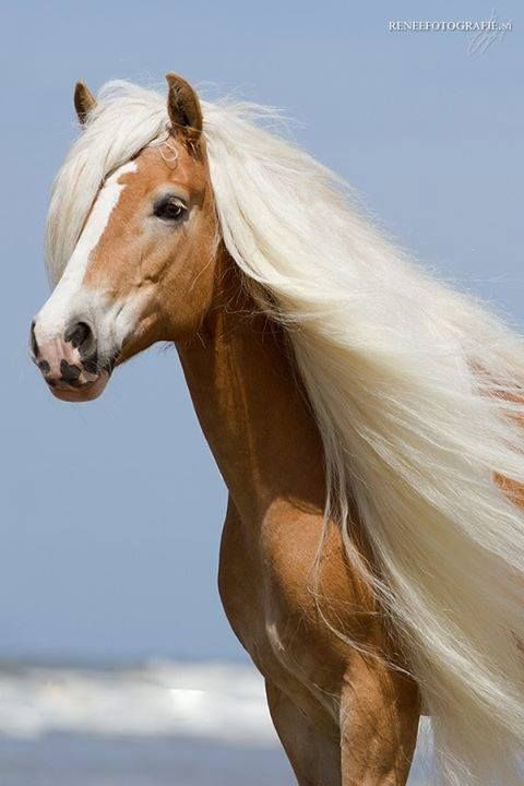 beautiful horse with white flowing hair