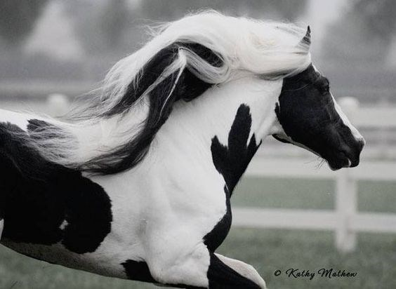 beautiful horse with white hair running