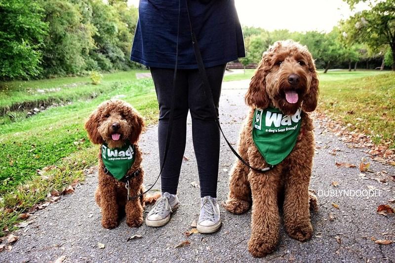 Cute labradoodle dogs wearing Wag bandana