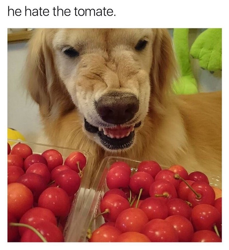 Funny meme about dog that hates tomatoes, but they're not tomatoes, they are cherries.