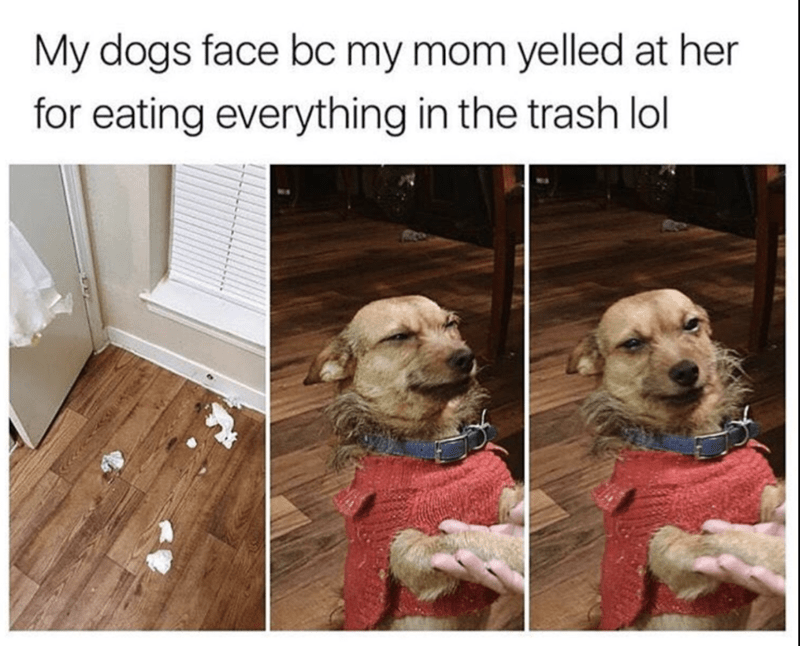 funny meme of dog making face when mom yelled at her for eating all the trash