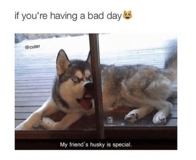 funny meme of a husky dog