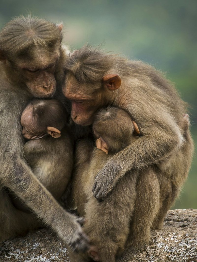 animal photos, family of monkeys