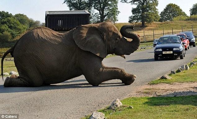 Elephant - R46I VOG Caters