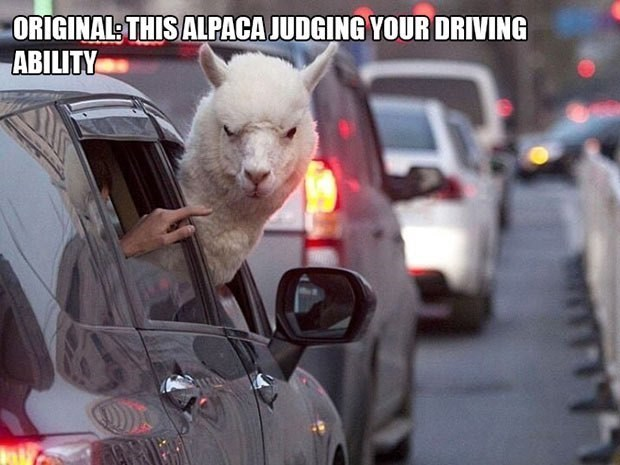 Alpaca judging while driving